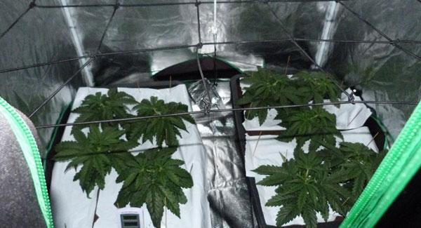 Week 1 vegetative stage