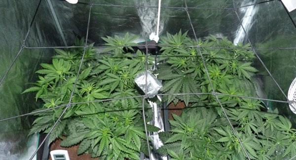 Week 2 vegetative stage