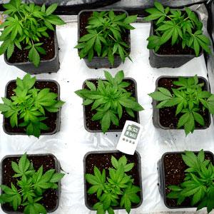 24 days vegetative stage 10