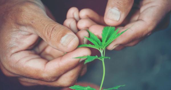 Marijuana Scrogging