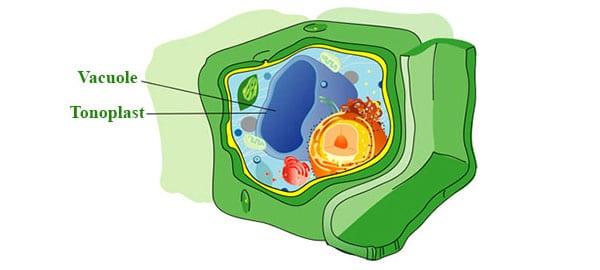 Marijuana cell vacuole