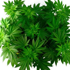 Marijuana Healthy leaf