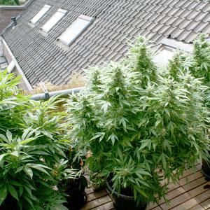 Rooftop marijuana grow