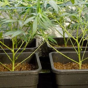 marijuana plants after pinching on day 5 of scrogging