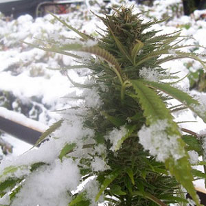 Cannabis and Weather