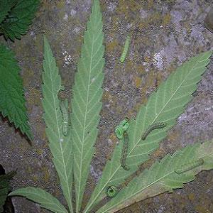 Caterpillars on Marijuana Plants