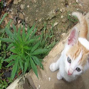 Cats and Dogs on Marijuana Plants
