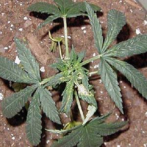 Copper Deficiencies in Marijuana Plants
