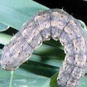 Cutworms on Marijuana Plants