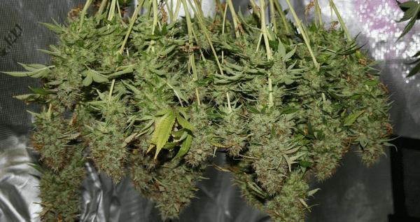 dry trimming marijuana