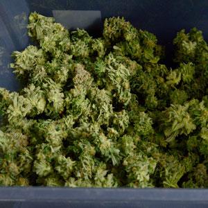 Drying marijuana buds