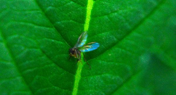 Fungus gnats on marijuana plants