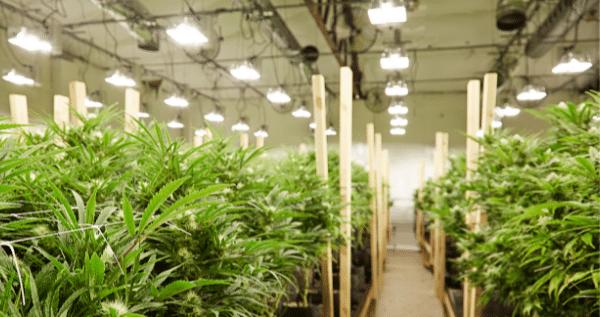 grow room marijuana setup