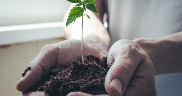 growing marijuana in soil