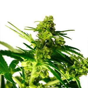 Herma marijuana