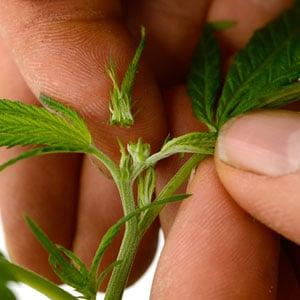 How to fimming marijuana cut off 2/3
