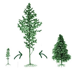 Hybrid marijuana
