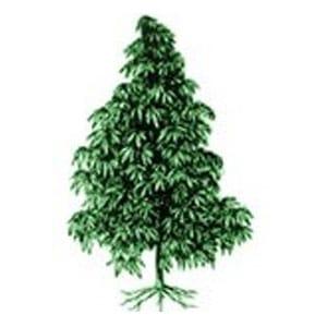 Indica marijuana plant