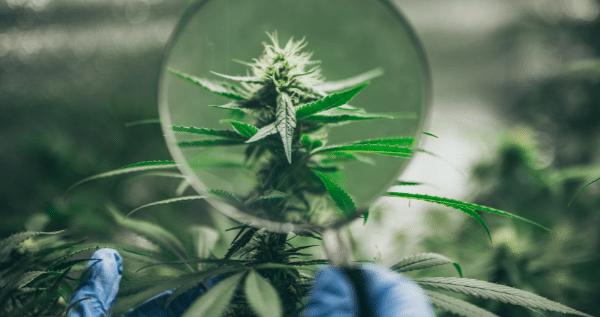 inside marijuana plant