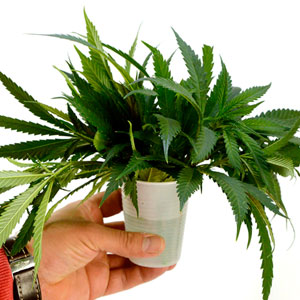 Marijuana in cup