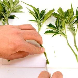 Marijuana cutting stems