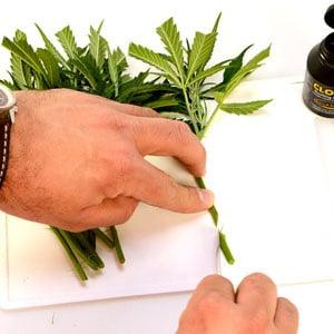 Preparing marijuana cutting stem