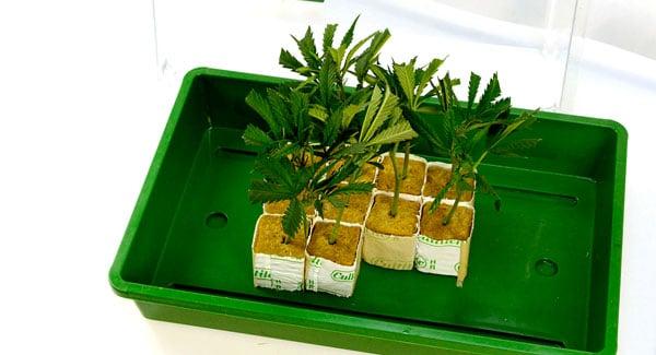 Marijuana in rockwool cubes