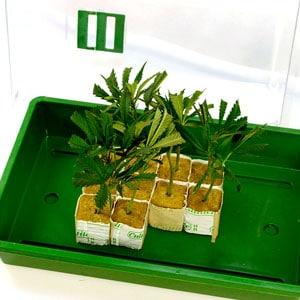 Marijuana making clone