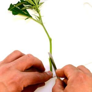 Marijuana cut stem on 45 degree angle