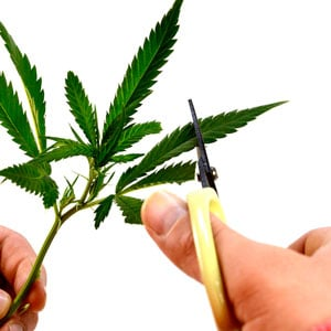 Marijuana cutting leaves