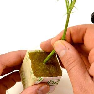 Put marijuana stem on cube