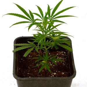Marijuana top plant