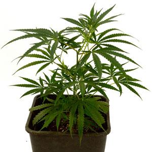 Marijuana Day 18