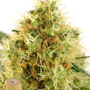 Marijuana bud hairs 87 days