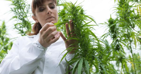 marijuana flowering week 1 to 4