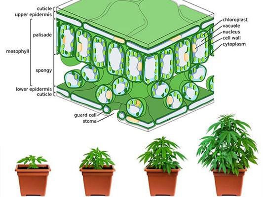 Marijuana plant tissue