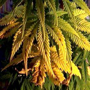 Molybdenum Deficiencies in Marijuana Plants