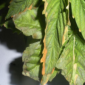 Nutrient Burn in Marijuana