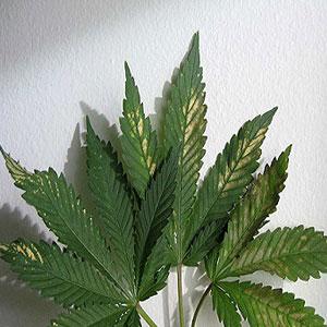 pH Fluctuations in Marijuana