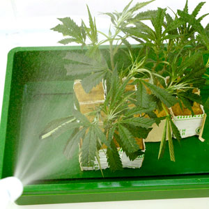 Spray marijuana on rockwool cubes