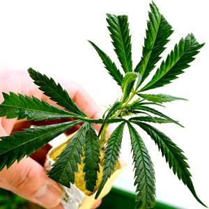 Rooting clones marijuana plant in day 9