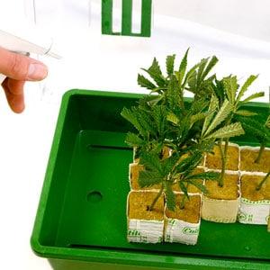 Spraying the Marijuana