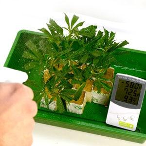 Spray marijuana plants