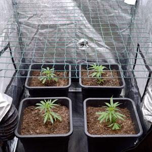 8 days scrog flowering side view