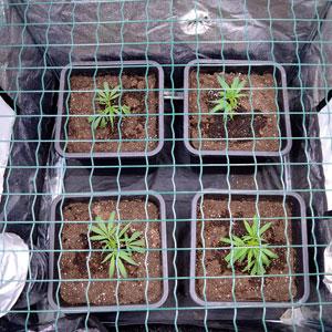 5 days scrog flowering top view