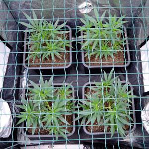 19 days scrog flowering top view