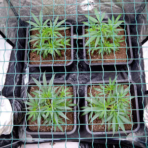 17 days scrog flowering top view
