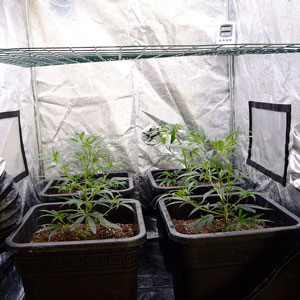 17 days scrog flowering bottom view