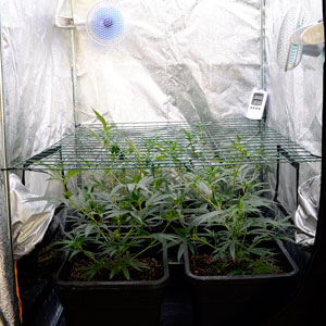marijuana plants with leaves starting to grow through a screen on day 24 of scrogging