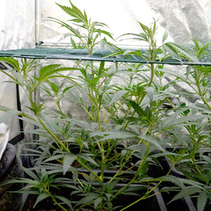marijuana plants with leaves almost ready to be tied on screen on day 24 of scrogging